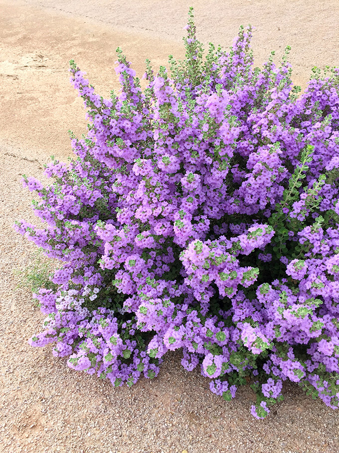 Five Fact Friday - The Purple Bush