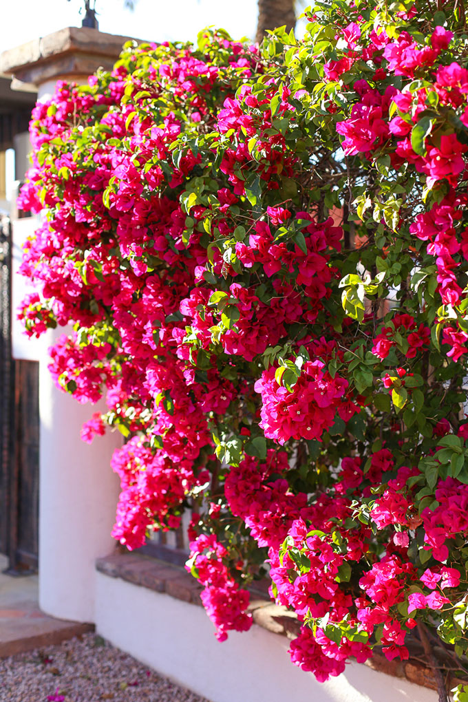 Spanish Architecture and Bougainvillea on the walls of Omni Resort and Spa at Montelucia in Scottsdale, Arizona