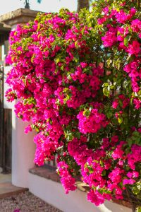 Bougainvillea growing on a white adobe wall