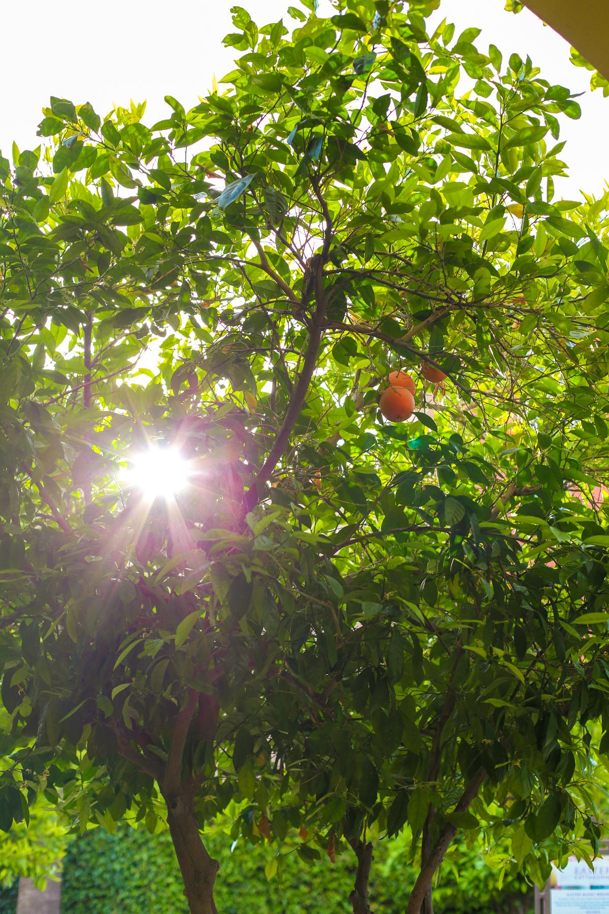 Sunlight peeking through an orange tree