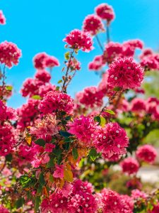 Front view of a pink bougainvillea plant with blue sky in the background.